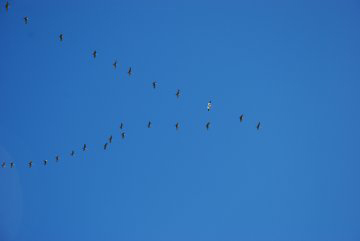 Crane 11-02 migrating over Georgia with sandhill cranes.