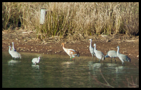 Crane #20-11 (DAR) has reached Tennessee's Higwassee Wildlife Refuge on her first migration south!