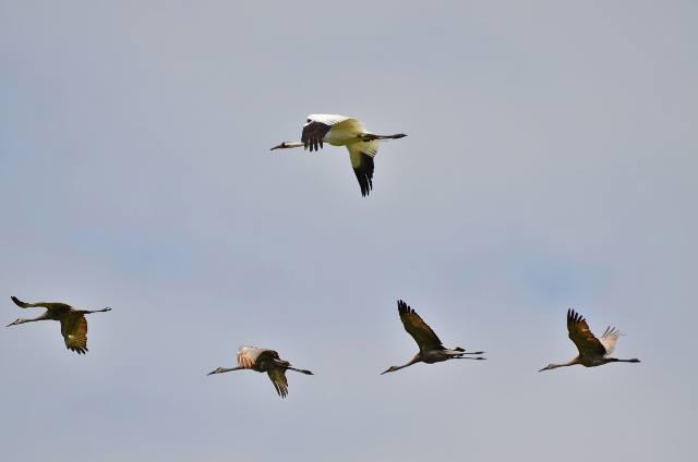 Cfrane d11-16 DAR flyng over Horicon Refuge with Sanshill cranes in August, 2013
