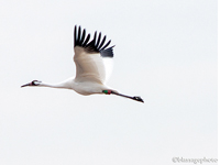 Whooping Crane Migration
