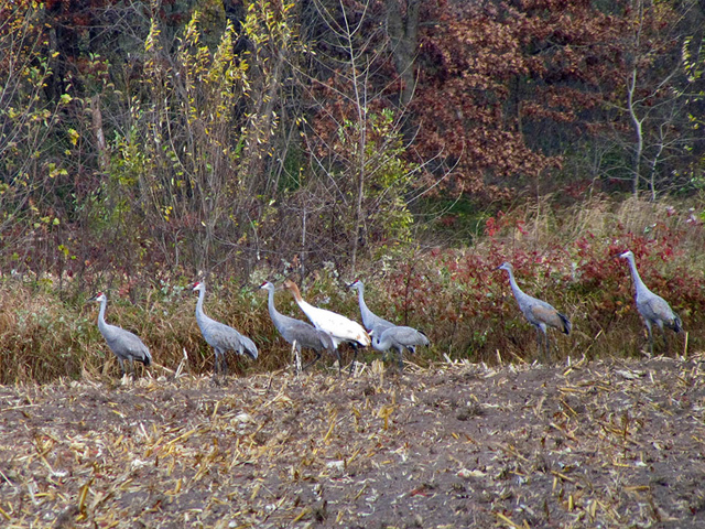 Missing female #2-11 is found among hundreds of sandhill cranes, alive and well, but also rather uncapturable.