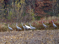 Missing crane #2=11 is found among a large flock of sandhills!
