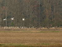 Three Class of 2011 Whooping cranes take fight amid Sandhill cranes on Alamaba wintering grounds.