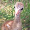 Crane chick #8-10