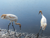 Young cranes #16-10 and #17-10 in Florida.