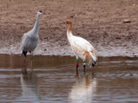 Crane #11-17 (Direct Autumn Release) with Sandhill cranes at Hiwassee State Wildlife Refuge