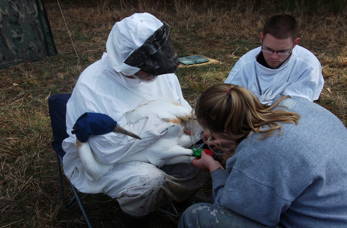 Biologists hold a blindfolded young Whooping crane as it gets identification and tracking bands fixed to its leg.