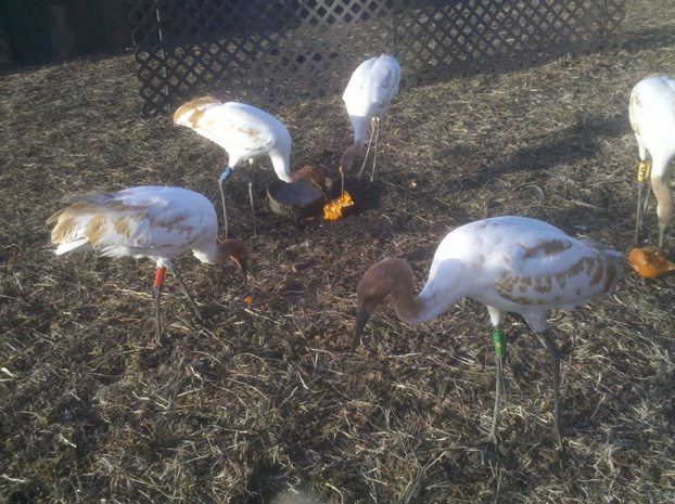 Young cranes play with pumpkin in their travel enclosure on migration.