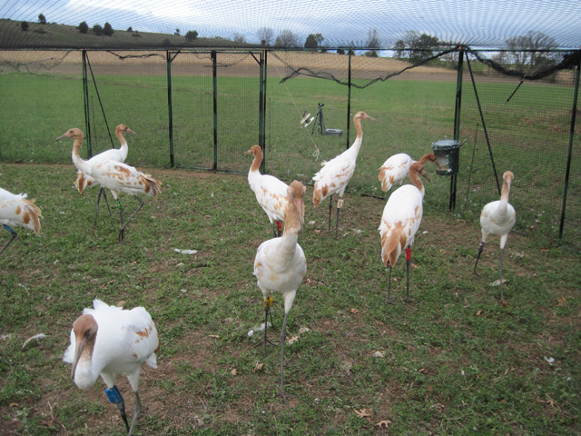 Young Whooping cranes in travel pen on November 6, 2011.