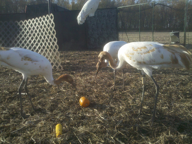 Young cranes get corn cobs and pumpkins to help prevent boredom on no-fly days.