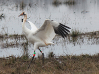 Young crane on wintering grounds at Wheeler NWR