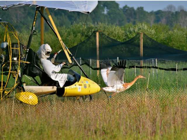 Young Whooping crane in training with ultralight aircraft that will lead migration