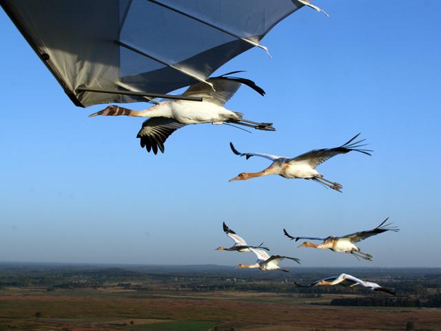Crane #10 flies in lead position