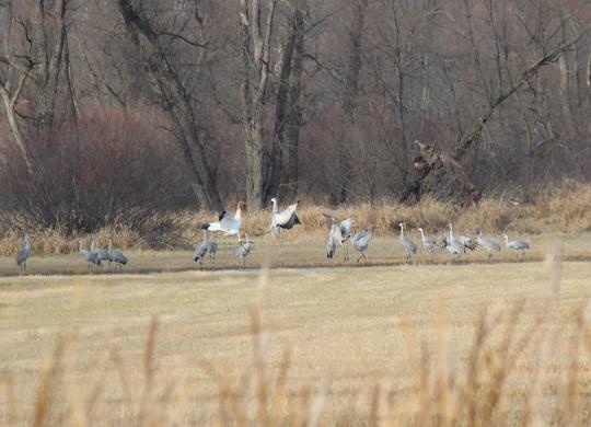 Crane #14-12 DAR with sandhill cranes in Wisconsin November 3, 2012