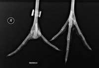 X-ray of #13-12's feet after toe surgery