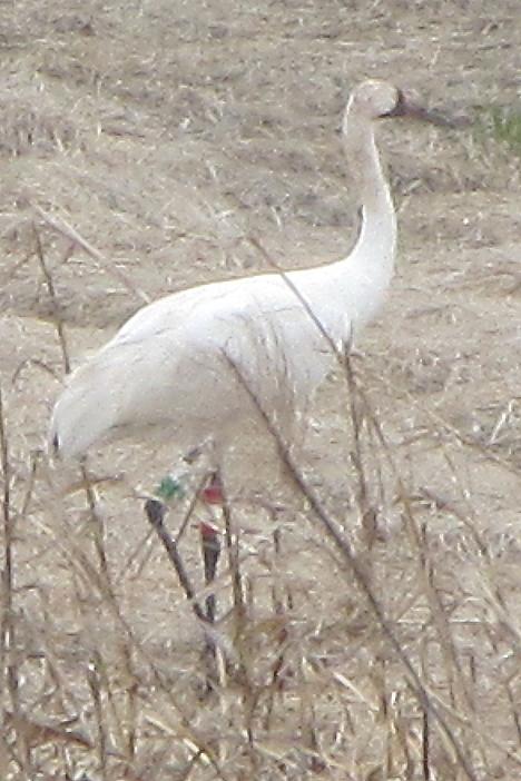 Crane 16_12 DAR in Dodge County, Wisconsin