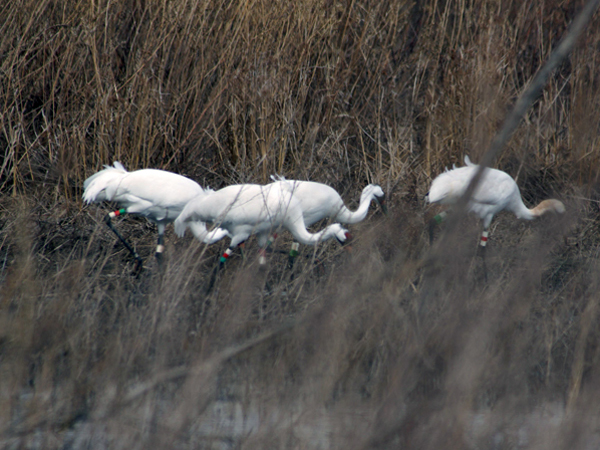 Four Whooping Cranes in Indiana in March