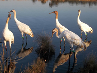 Five Whooping Cranes walk in their pond.