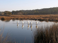 Five young Whooping Cranes in a pond