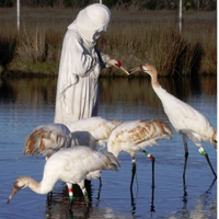 Whooping cranes and costumed handler with puppet