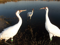 The 3 cranes in the Class of 2012 just before they began spring migration