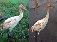 Comparing plumage of cranes 4 and 10 in September