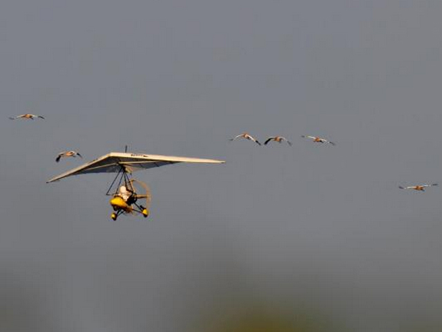 Young whooping cranes flying with ultralight plane