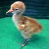 Baby crane #10-12
