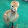 Baby crane #11-12