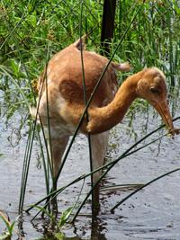 baby crane #12-14 DAR