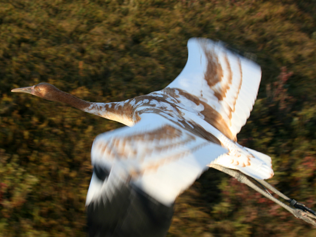 Young Whooping crane in flight on migration
