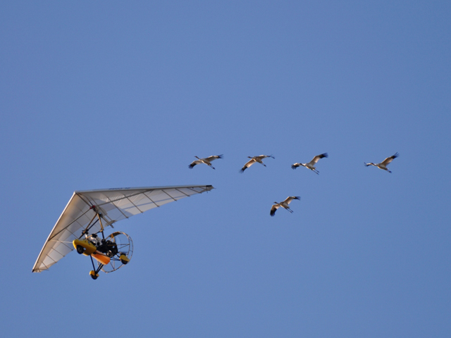 Whooping Cranes flying with ultralight airplane