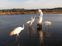 Five cranes in pond with costumed monitor