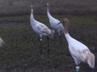 The young cranes head to the pond to roost as darkness falls.