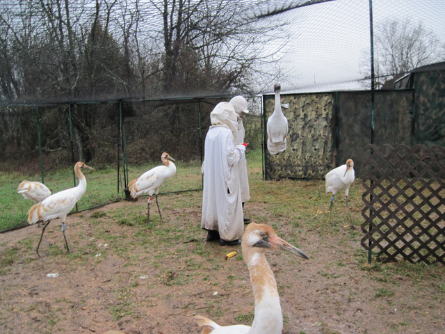 Young Whooping Cranes in their travel pen with costumed handlers and role model plastic crane