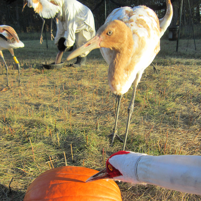 Young Whooping cranes in their travel pen on migration