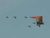 Five young cranes in flight with ultralight plane