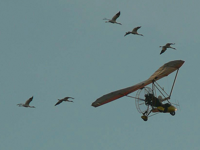 Five cranes in Class of 2012 fly with their ultralight-airpcraft leader on migration.