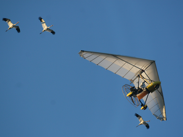 Whooping Cranes flying with ultralight plane