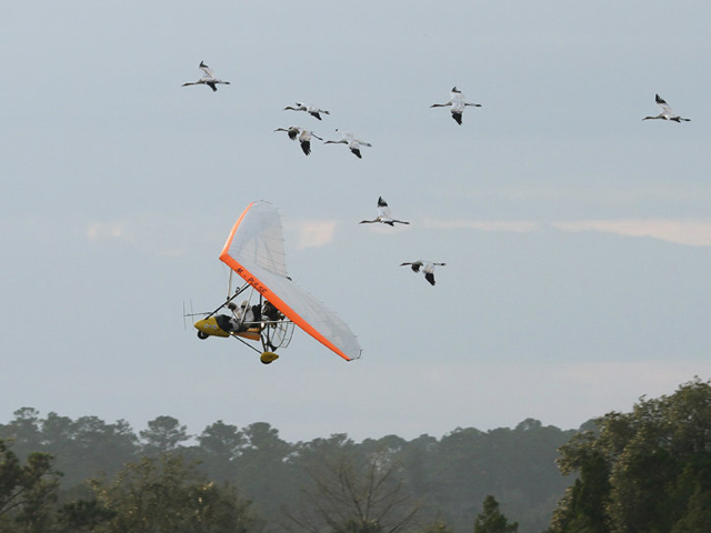 Richard's aircraft and the eight young cranes drop down to land at St. Marks Nwr on January 5, 2014.