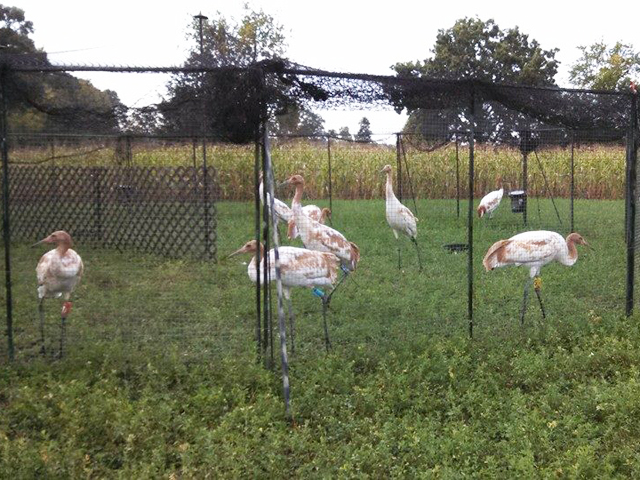Cranes in travel pen at Stop #1