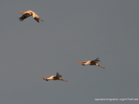 Six of the cranes dropped out of today's turbulent flight.