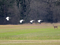 Cranes 2, 4, 5 and 9 in Green Lake County WI in April