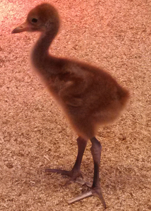 Chick #5 at Patuxent Wildlife Research Center in Maryland