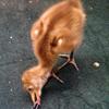 Crane chick #1-13