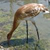 2013 DAR crane Maude