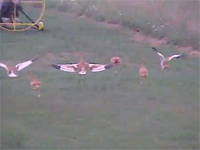 The chicks all ran after the plane as it taxied to the end of the grassy training strip.