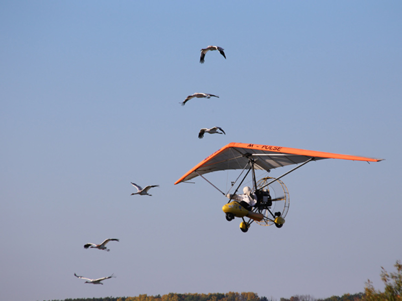 Young cranes in flight with the aircraft.