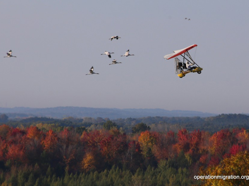 The six young cranes and Richard's plane on migration