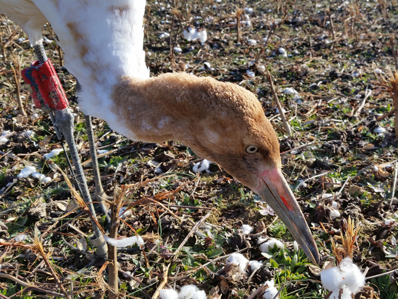 Young Whooping Crane investigates after landing in a cotton field in Tennessee.